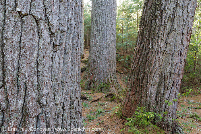 Enormous White Pines on the side of the Mad River in the White Mountains, New Hampshire  USA. During the logging era the Mad River was used for log drives