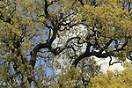 Golan Heights, Mount Tabor Oak (Quercus ithaburensis) tree in Fakhura