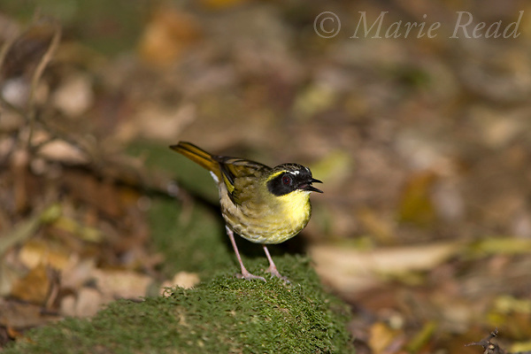 Yellow-throated Scrubwren (Sericornis citreogularis), male singing, Lamington National Park, Queensland, Australia.