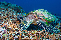 Hawksbill turtle, Eretmochelys imbricata, foraging over the reef for food, North point, The Similan islands, Andaman sea, Indian Ocean, Thailand, Asia