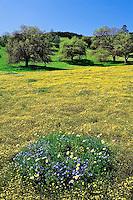 Meadow of Goldfields, Lasthenia chrysostoma, Baby Blue Eyes, Nemophilia menziesii, and Madia flowers, Madia spp. California
