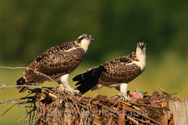 Juvenile Osprey (Pandion haliaetus) in nest. Cowlitz County, Washington. August.