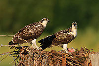 Juvenile Osprey (Pandion haliaetus) in nest. Cowlitz County, Washington. August.