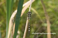 06496-00218 Arrowhead Spiketail (Cordulegaster obliqua) male Little Shoal Creek Fen Washington Co. MO