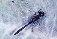 Schwarze Heidelibelle, Männchen, Sympetrum danae, Black Darter, Black Meadowhawk, male