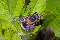 Hummel-Waldschwebfliege, Pelzige Hummel-Schwebfliege, Hummelschwebfliege, Volucella bombylans, Bumblebee mimic hoverfly