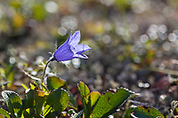 Purple blossom of the Mountain harebell on the tundra in Denali National Park, Interior, Alaska.