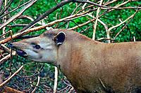 Animais. Mamiferos. Anta (Tapirus terrestris). Foto de Luciana Whitaker.