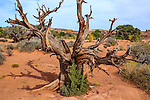 A dead bristlecone Pine tree at Canyonlands National Park In Autumn, Utah, USA
