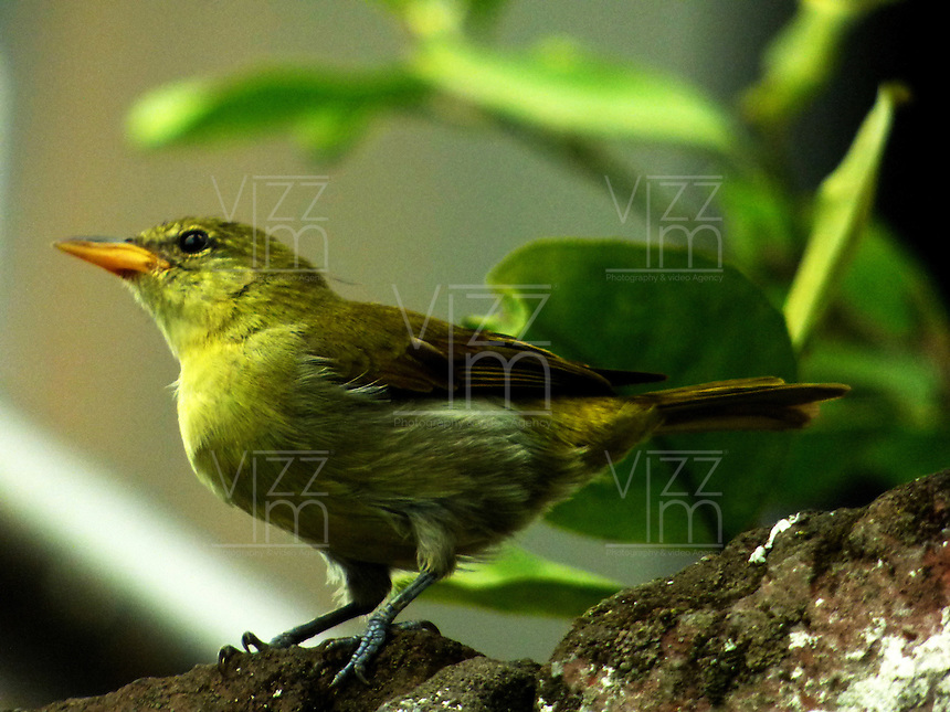 CALI - COLOMBIA, 30-06-2016: Hemitauphis Guira Tanager, especie de ave presente en el norte de Cali. / Hemitauphis Guira Tanager, bird species present in north of Cali Photo: VizzorImage / Dario Ramirez / Cont.