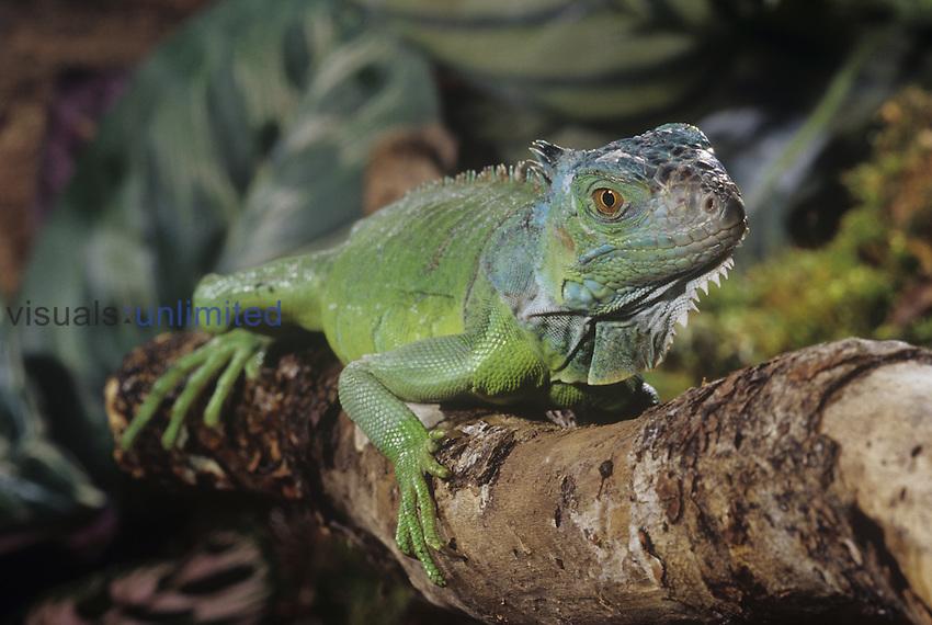Green Iguana (Iguana iguana), Central and South America.