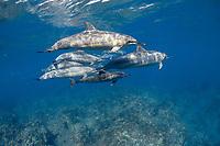 pod of Hawaiian spinner dolphins or Gray's spinner dolphin or long-snouted spinner dolphins, Stenella longirostris longirostris, Kaupulehu, Kona Coast, Big Island, Hawaii (Central Pacific Ocean)