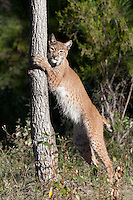 Siberian Lynx standing up against a tree - CA