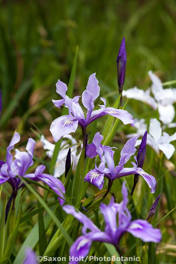 Iris douglasii, flowering in Menzies Garden of California native plants; San Francisco Botanical Garden