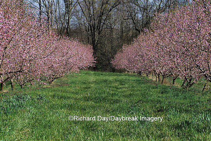 63808-02511 Peach Orchard in bloom in spring, Johnson Co.  IL