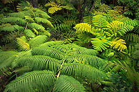 Hapuu Fern. Hawaii Volcanoes National Park, Hawaii