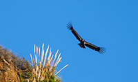 A California Condor flies along the Central Califonia Coastline near Big Sur