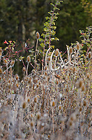 White-tailed Deer buck (Odocoileus virginianus) among teasel and wild rose, Western U.S., Late Fall.
