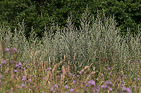 Beifuß, Gewöhnlicher Beifuß, Beifuss, Artemisia vulgaris, Mugwort, common wormwood, wild wormwood, wormwood, L'Armoise commune, L'Armoise citronnelle