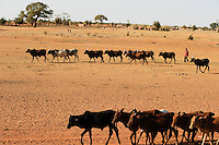 BURKINA FASO Djibo, Hirte mit Rinderherde auf dem Weg zu einer Wasserstelle /<br />