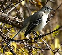 Adult northern mockingbird in tree