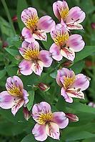 Vashon Island, WA<br /> cluster of cultivated alstromeria in a summer garden
