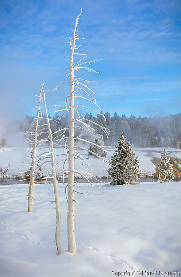 Yellowstone National Park, WY: Animal tracks and ghost trees in the Upper Geyser Basin in winter