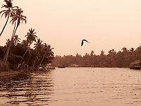 Picture of Lonely bird flying in the evening over the backwaters of Alleppey Kerala in sepia tone