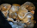 29/03/16<br /> <br /> Four baby squirrels had a lucky escape when high winds, caused by Storm Katie, destroyed their nest and sent them plummeting down an old chimney breast.<br /> <br /> The two-week-old grey squirrels were found in the bottom of the fireplace by the shocked homeowner.<br /> <br /> *** Full story here: http://www.fstoppress.com/articles/lucky-escape-for-baby-squirrels/    ***<br /> <br /> <br /> She contacted Hart Wildlife Rescue, a charity based in Hampshire which runs a wildlife hospital, where staff have taken the youngsters in.<br /> <br /> The baby squirrels will need round-the-clock care for the next few weeks, before being released back into the wild.<br /> <br /> Hospital manager Charmain Greenland-Jones is in charge of their welfare and said they need three-hourly feeds.<br /> <br /> &ldquo;Our staff are taking them home at night to look after them,&rdquo; she said.<br /> <br /> &ldquo;We are giving them milk at the moment, but once their eyes open we will start to introduce them to solids food.&rdquo;<br /> <br /> &ldquo;And then they will be moved to one of our outside aviaries, to learn to climb and basically be squirrels, before being released into the wild, probably here in our own grounds.&rdquo;<br /> <br /> EXTRA INFORMATION<br /> <br /> HART Wildlife Rescue is a registered charity which runs a wildlife hospital in North East Hampshire, providing a rescue, treatment and rehabilitation service for wildlife from all over Hampshire and surrounding counties.<br /> <br /> HART also gives advice to vets, the RSPCA and members of the public from all over the country, as well as providing talks and work experience opportunities for students.<br /> <br /> ends.<br /> <br /> All Rights Reserved: F Stop Press Ltd. +44(0)1335 418365   www.fstoppress.com.