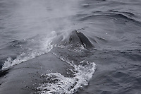 Humpback whales (Megaptera novaeangliae) surfacing and Spouting. White Island, Svalbard archipelago, Arctic Ocean