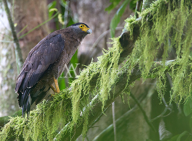 The crested serpent eagle can often be seen in denser forests.
