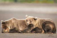 Male Brown Bear (Ursus arctos) cub (left) finds the perfect pillow in the form of his sister's backside.  She didn't seem to mind.  Lake Clark National Park, Alaska.