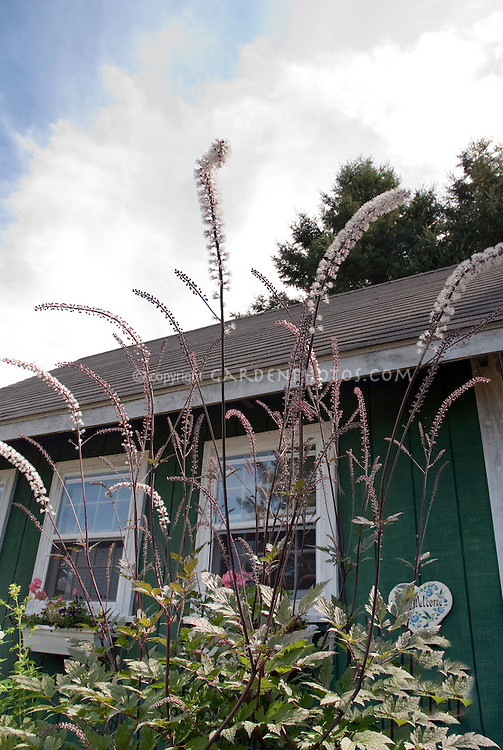 Actaea James Compton In Spiky Flowers Plant Flower Stock