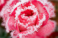 Rose with hoar frost. Wilsonville. Oregon