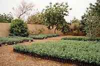 Gum Arabic.  Acacia Senegal Tree Nursery, Niger, West Africa.