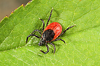 Zecke, Holzbock, Zecken, Ixodes ricinus, castor bean tick, European castor bean tick, European sheep tick, tick, ticks