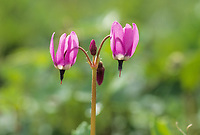 Shooting star blossoms, Denali Park, Alaska