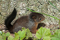Eekhoorn (Sciurus vulgaris) jong