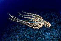 Day octopus, Octopus cyanea, are a common sight on Hawaiian reefs.