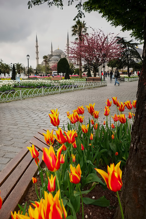 Brillant red and yellow tulips upstage the grand Blue Mosque in the background at Istanbul.