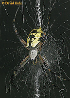 0823-06yy  Garden spider - Argiope aurantia © David Kuhn/Dwight Kuhn Photography