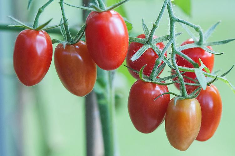 Tomato 'Ambrosia', greenhouse, late September.