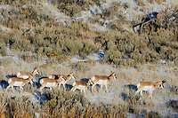 Pronghorn Antelope (Antilocapra americana) group on grasslands along northern boundry of Yellowstone National Park, Montana.  December.