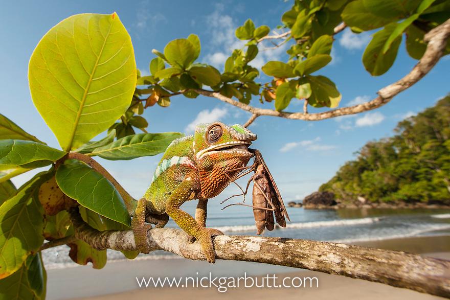 Male Panther Chameleon (Furcifer pardalis) eating praying mantis in beach side vegetation. Bay of Antongil, Masoala Peninsula National Park, north east Madagascar.
