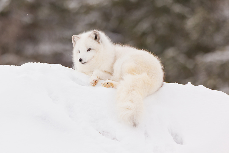 Arctic Fox lying on top of a snowy hill - CA