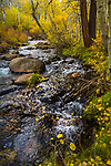 Autumn along Mill Creek, Lundy Canyon. A creek runs along fallen golden, autumn leaves on the banks.