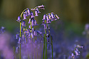 Bluebells {Endymion nonscriptus} growing in deciduous woodland. Peak District National Park, Derbyshire, UK. May.