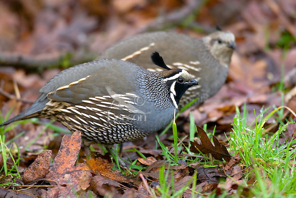 California Quail  (Callipepla californica).  Pacific Northwest.  Male in forground and hen in back.