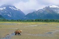 Brown bears fish for salmon along the shores of coastal Katmai National Park, Alaska