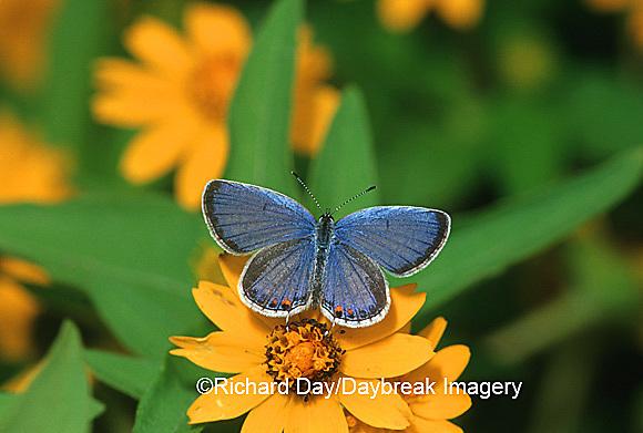 03226-00612 Eastern Tailed-Blue (Everes comyntas) male on Million Gold Melampodium (Melampodium paludosum)   IL